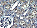 IHC of paraffin-embedded Human Kidney tissue using anti-ANKMY2 mouse monoclonal antibody. (Heat-induced epitope retrieval by 1 mM EDTA in 10mM Tris, pH8.5, 120°C for 3min).