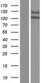 ANKRD44 Protein - Western validation with an anti-DDK antibody * L: Control HEK293 lysate R: Over-expression lysate