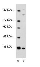 ANKZF1 Antibody - A: Marker, B: Rap Cell Lysate.  This image was taken for the unconjugated form of this product. Other forms have not been tested.