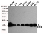 Western blot detection of CDX2 in HeLa, Caco2, C2C12, SW480, COS7, HepG2 and 3T3 cell lysates using CDX2 mouse monoclonal antibody (1:1000 dilution). Predicted band size: 34KDa. Observed band size:34KDa.