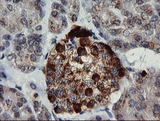 IHC of paraffin-embedded Human pancreas tissue using anti-CHGA mouse monoclonal antibody. (Heat-induced epitope retrieval by 10mM citric buffer, pH6.0, 120°C for 3min).