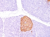 Formalin-paraffin human pancreas stained with Chromogranin A antibody (CHGA/798).  This image was taken for the unmodified form of this product. Other forms have not been tested.