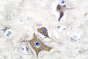 IHC of NSE/ENO2 (R400) pAb in paraffin-embedded human brain tissue.