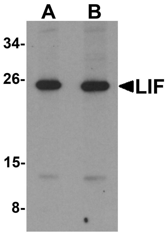 Western blot analysis of LIF in 3T3 cell lysate with LIF antibody at (A) 1 and (B) 2 ug/ml.