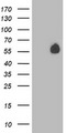 HEK293T cells were transfected with the pCMV6-ENTRY control (Left lane) or pCMV6-ENTRY PVRL1 (Right lane) cDNA for 48 hrs and lysed. Equivalent amounts of cell lysates (5 ug per lane) were separated by SDS-PAGE and immunoblotted with anti-PVRL1.