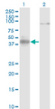Western blot of NEUROD1 expression in transfected 293T cell line by NEUROD1 monoclonal antibody clone 3D11.