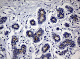 IHC of paraffin-embedded Human breast tissue using anti-CA19-9 mouse monoclonal antibody.