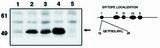 Western blot of Anti-p53 clone. X77 antibody at 10 ug/ml on HCT116 cell lysate (1), HCT116 cell lysate activated with Adriamycin (2), p21-/- cell lysate (3), P21-/- cell lysate activated with ADR (4) and p53-/- activated with ADR. ADR activates p53 in cells. Also shown is a graphic representation of the epitope location.