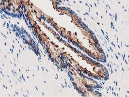ANXA3 / Annexin A3 Antibody - IHC of paraffin-embedded Human prostate tissue using anti-ANXA3 mouse monoclonal antibody.