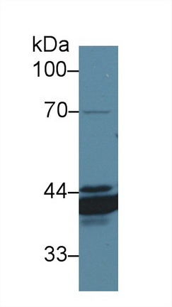 Western Blot; Sample: Canine Stomach lysate; Primary Ab: 1µg/ml Rabbit Anti-Canine ANXA4 Antibody Second Ab: 0.2µg/mL HRP-Linked Caprine Anti-Rabbit IgG Polyclonal Antibody