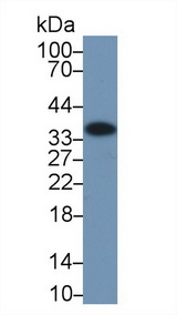 Western Blot; Sample: Human Liver lysate; Primary Ab: 2µg/ml Rabbit Anti-Human ANXA4 Antibody Second Ab: 0.2µg/mL HRP-Linked Caprine Anti-Rabbit IgG Polyclonal Antibody