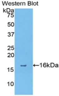 Western blot of recombinant ANXA4 / Annexin IV.  This image was taken for the unconjugated form of this product. Other forms have not been tested.