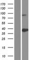 ANXA8L1 Protein - Western validation with an anti-DDK antibody * L: Control HEK293 lysate R: Over-expression lysate