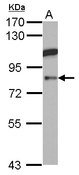 AOC1 Antibody - Sample (30 ug of whole cell lysate) A: HCT116 7.5% SDS PAGE ABP1 antibody diluted at 1:1000