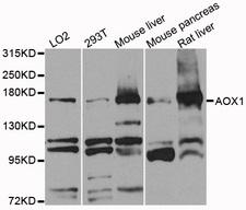AOX1 / Aldehyde Oxidase Antibody - Western blot analysis of extracts of various cells.