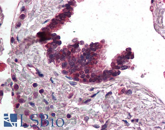 Anti-AP3D1 antibody IHC of human lung, respiratory epithelium. Immunohistochemistry of formalin-fixed, paraffin-embedded tissue after heat-induced antigen retrieval. Antibody concentration 5 ug/ml.