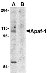 APAF1 / APAF-1 Antibody - Western blot of whole cell lysate from K562 cells probed with Rabbit anti-APAF1 (RABBIT ANTI APAF1 (aa12-28)) either in the absence (A) or presence (B) of blocking peptide.