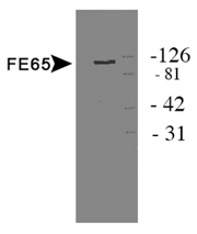 Detection of protein in HEK 293 cell lysate.  This image was taken for the unconjugated form of this product. Other forms have not been tested.