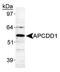 APCDD1 Antibody - Detection of APCDD1 in human heart lysate.  This image was taken for the unconjugated form of this product. Other forms have not been tested.