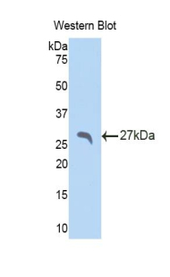 Western blot of recombinant APCS / Serum Amyloid P / SAP.  This image was taken for the unconjugated form of this product. Other forms have not been tested.