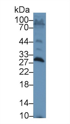 Western Blot; Sample: Rat Testis lysate; Primary Ab: 1µg/ml Rabbit Anti-Rat SAP Antibody Second Ab: 0.2µg/mL HRP-Linked Caprine Anti-Rabbit IgG Polyclonal Antibody