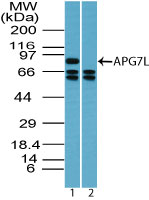 Western blot of APG7L in Jurkat cell lysate in the 1) absence and 2) presence of immunizing peptide using Polyclonal Antibody to APG7L at 1 ug/ml. Goat anti-rabbit Ig HRP secondary antibody, and PicoTect ECL substrate solution, were used for this test.