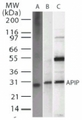 Western blot of APIP2 in A) recombinant protein, B) HeLa, and C) 293 whole cell lysate using antibody at 2 ug/ml.