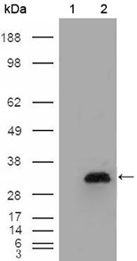 Western blot using APOA1 mouse monoclonal antibody against HEK293T cells transfected with the pCMV6-ENTRY control (1) and pCMV6-ENTRY APOA1 cDNA (2).