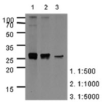 Western Blot: The extracts of HepG2 (40 ug) were resolved by SDS-PAGE, transferred to PVDF membrane and probed with anti-human APOA1 (1:500-1:5000). Proteins were visualized using a goat anti-mouse secondary antibody conjugated to HRP and an ECL detection system.