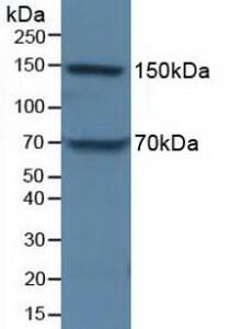 Western Blot; Sample: Porcine Liver Tissue.