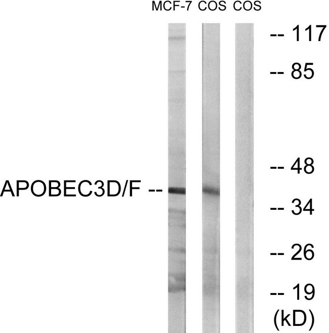 APOBEC3D + APOBEC3F Antibody - Western blot analysis of lysates from COS7 and MCF-7 cells, using APOBEC3D/F Antibody. The lane on the right is blocked with the synthesized peptide.
