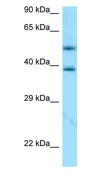 APOE / Apolipoprotein E antibody Western Blot of 721_B.  This image was taken for the unconjugated form of this product. Other forms have not been tested.