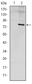 Western blot using ApoE monoclonal antibody against HEK293 (1) and ApoE (AA: 20-267)-hIgGFc transfected HEK293 (2) cell lysate.
