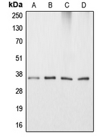 Western blot analysis of Apolipoprotein E expression in HeLa (A); HepG2 (B); NIH3T3 (C); PC12 (D) whole cell lysates.