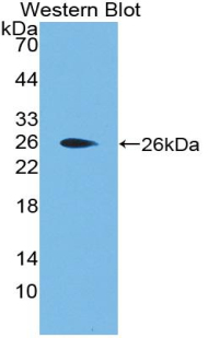 Western blot of recombinant APOF / Apolipoprotein F.
