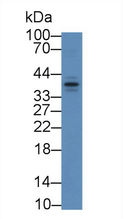 Western Blot; Sample: Mouse Lung lysate; Primary Ab: 2µg/mL Rabbit Anti-Mouse APOF Antibody Second Ab: 0.2µg/mL HRP-Linked Caprine Anti-Rabbit IgG Polyclonal Antibody