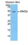 Apolipoprotein A-V Antibody - Western blot of recombinant Apolipoprotein A5 / APOA5.  This image was taken for the unconjugated form of this product. Other forms have not been tested.