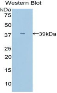 Western blot of recombinant Apolipoprotein C-I / APOC1.  This image was taken for the unconjugated form of this product. Other forms have not been tested.
