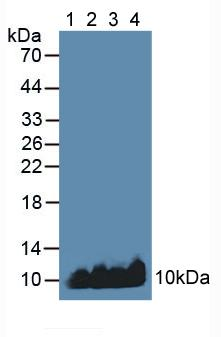 Western Blot; Sample: Lane1: Human Blood Cells; Lane2: Human Placenta Tissue; Lane3: Mouse Liver Tissue; Lane4: Mouse Heart Tissue.