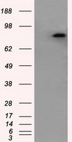 HEK293T cells were transfected with the pCMV6-ENTRY control (Left lane) or pCMV6-ENTRY APP (Right lane) cDNA for 48 hrs and lysed. Equivalent amounts of cell lysates (5 ug per lane) were separated by SDS-PAGE and immunoblotted with anti-APP.