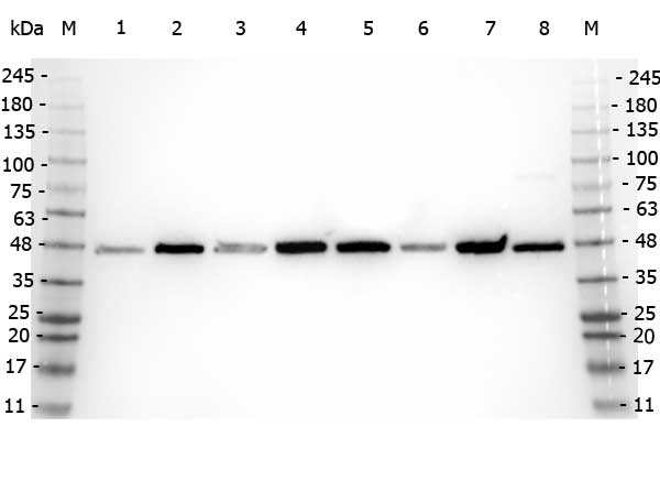 APP / Beta Amyloid Precursor Antibody - Western Blot of rabbit anti-Beta Amyloid antibody. Marker: Opal Pre-stained ladder Lane 1: HEK293 lysate Lane 2: HeLa Lysate Lane 3: MCF-7 Lysate Lane 4: Jurkat Lysate Lane 5: A431 Lysate Lane 6: LNCaP Lysate Lane 7: A-172 Lysate Lane 8: NIH/3T3 Lysate Load: 35 µg per lane. Primary antibody: Beta Amyloid antibody at 1:5,000 for overnight at 4°C. Secondary antibody: Peroxidase rabbit secondary antibody at 1:30,000 for 60 min at RT. Blocking Buffer: 1% Casein-TTBS for 30 min at RT. Predicted/Observed size: 40 kDa, 40 kDa for AHA1. Other band(s): N/A.