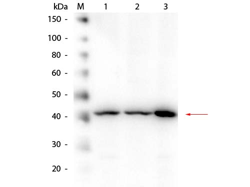 APP / Beta Amyloid Precursor Antibody - Western Blot of rabbit anti-Beta Amyloid Antibody. Lane 1: HEK293 WCL. Lane 2: Mouse Brain WCL. Lane 3: A-172 WCL. Load: 10.0 µg per lane. Primary antibody: Beta Amyloid Antibody at 1:1,000 overnight at 4°C. Secondary antibody: Peroxidase Conjugated Goat-a-Rabbit IgG at 1:40,000 for 30 min at RT. Block: MB-070 for 30 min at RT. Predicted/Observed size: 40 kDa, 40 kDa for Beta Amyloid.