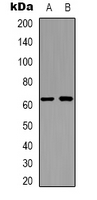 Western blot analysis of APPBP2 expression in Jurkat (A); HEK293T (B) whole cell lysates.