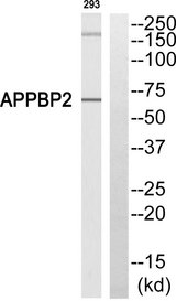 Western blot of extracts from 293 cells, using APPBP2 antibody.