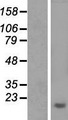 Aprataxin / APTX Protein - Western validation with an anti-DDK antibody * L: Control HEK293 lysate R: Over-expression lysate