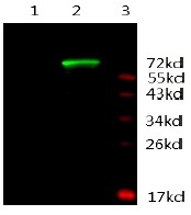 AR / Androgen Receptor Antibody - Immunodetection Analysis: Representative blot from a previous lot. Lane 1, protein BSA; Lane 2, recombinant protein AR; Lane 3, protein marker. The membrane blot was probed with anti-AR primary antibody (0.5µg/ ml). Proteins were visualized using a Donkey anti-mouse secondary antibody conjugated to IRDye 800CW detection system.
