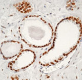 Formalin-fixed, paraffin-embedded human prostate stained with peroxidase-conjugate and DAB chromogen. Note nuclear staining of glandular epithelial cells.  This image was taken for the unmodified form of this product. Other forms have not been tested.