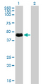 Western Blot analysis of TGFB1I1 expression in transfected 293T cell line by TGFB1I1 monoclonal antibody (M01), clone 4B2-D8.Lane 1: TGFB1I1 transfected lysate(47.9 KDa).Lane 2: Non-transfected lysate.