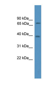 ARA70 / NCOA4 Antibody - NCOA4 antibody Western blot of Mouse Heart lysate. This image was taken for the unconjugated form of this product. Other forms have not been tested.