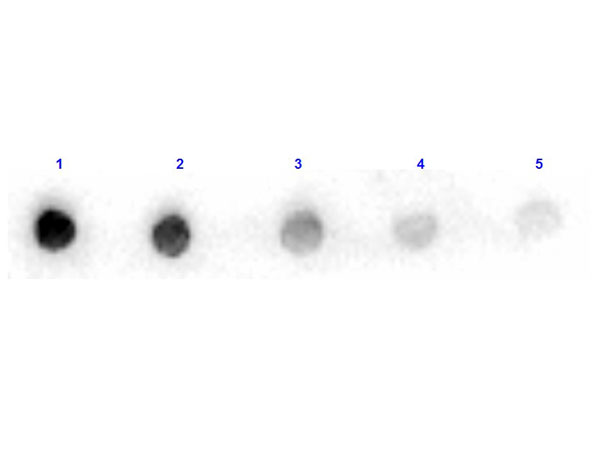 ARG1 / Arginase 1 Antibody - Dot Blot results of rabbit Anti-Arginase Peroxidase Conjugated. Antigen: Arginase. Blot loaded at 3 fold dilution: 1. 100ng, 2. 33.3ng, 3. 11.1ng, 4. 3.70ng, 5. 1.23ng. Blocking: MB-070 Buffer for 30 minutes at RT. Primary Antibody: Rabbit Anti-Arginase HRP 10µg/mL for 1hr at RT. Secondary Antibody: none. Imaging System ChemiDoc, Filter used: Chemi.